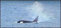 killerwhale_small.jpg